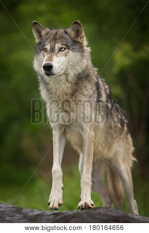Grey Wolf (Canis lupus) Steps Up on Rock - captive animal