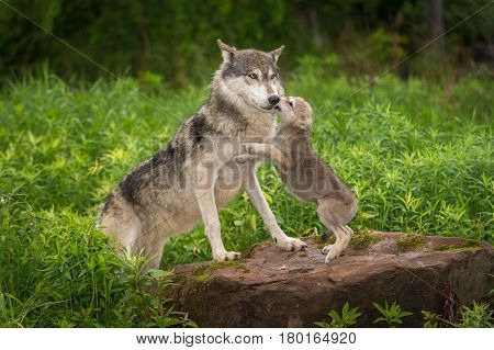 Grey Wolf (Canis lupus) Pup Jumps Up on Adult - captive animals