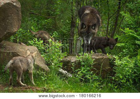 Black-Phase Grey Wolf (Canis lupus) Gathers Pups - captive animals