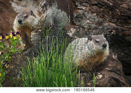 Young Woodchucks (Marmota monax) Sit on Log - captive animals