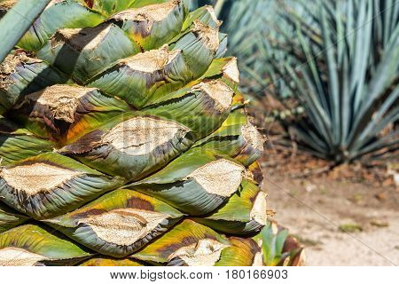Blue Agave Pineapple Closeup