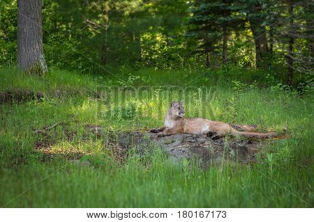 Adult Female Cougar (Puma concolor) Lies On Rock Intent to Right - captive animal