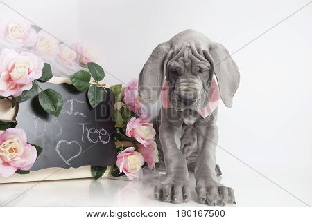 Purebred Blue Great Dane puppy with flowers and love message on a chalkboard