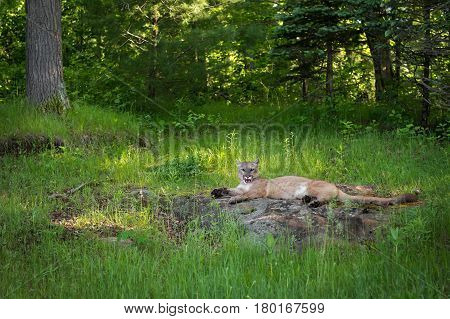 Adult Female Cougar (Puma concolor) Lies Yawning on Rock - captive animal