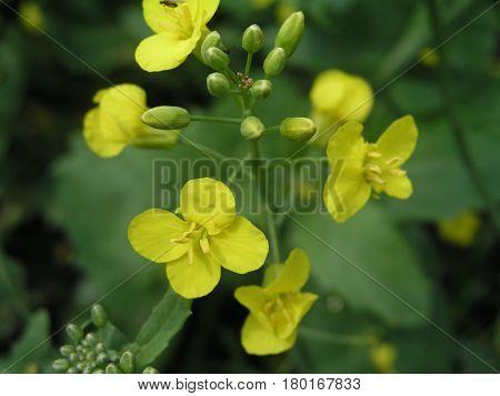 Brassica campestris field mustard bird rape keblock and colza flowers and buds. Honey plants of Ukraine.
