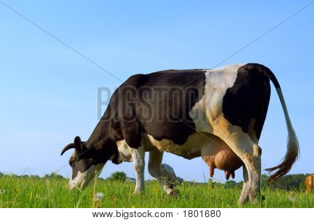 Close View Of Grazing Cow On Spring Field - In Sunset Light