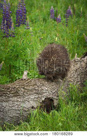 Porcupine (Erethizon dorsatum) Waddles Along Log - captive animal