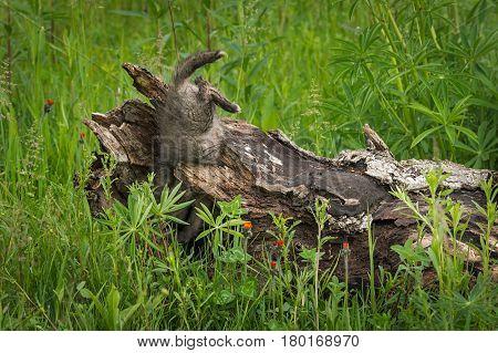 Red Fox (Vulpes vulpes) Kit Falls Into Log - captive animal