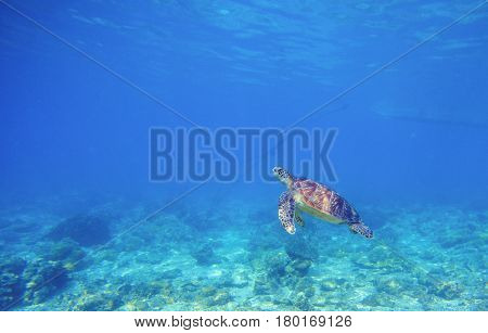 Sea turtle in shallow water. Wild turtle swims underwater in blue tropical sea. Tortoise undersea photo. Sea turtle in natural environment. Snorkeling in tropic lagoon. Exotic island seashore animal