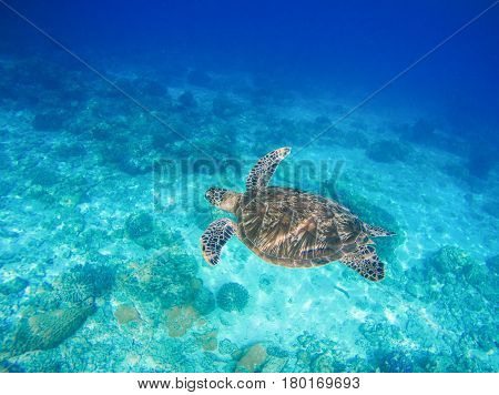 Sea animal and plants. Oceanic environment underwater photo. Sea bottom with sand and coral reef formation. Undersea scenery with sea tortoise. Green turtle in marine nature. Tropical sea lagoon image