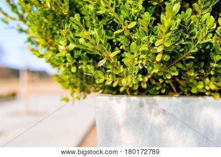 Fresh spring boxwood in white pot - bright copy space for background