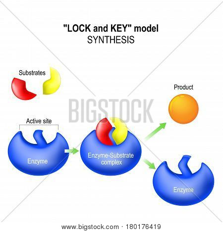 Enzyme. lock and key model. synthesis. metabolic processes. enzyme-substrate complex substrate product and active site.