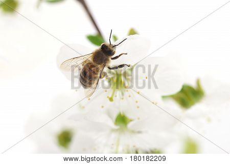 Nature background. Honeybee and white cherry flowers.