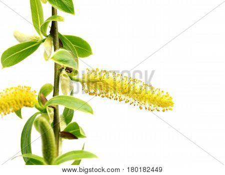 Spring twigs of willow with young green leaves and yellow catkins. Isolated on white background with copy space