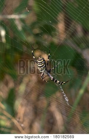 Spider On Spiderweb In Summer