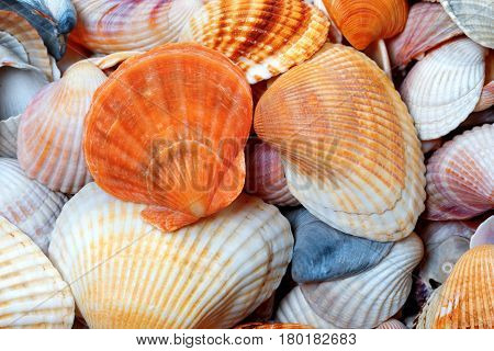 Shells Of Anadara And Scallop