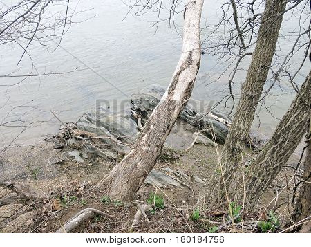 Trees on a coast of the Potomac River near Washington USA March 26 2017