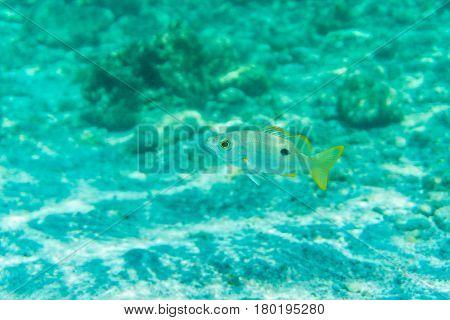 Breathtaking Underwater View Of Mackerel Fish School Feeding On Plankton Under The Surface Of Red Se