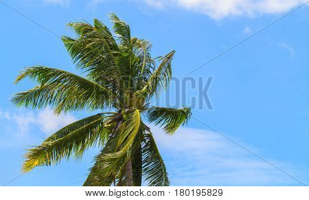 Green coco palm leaves on blue sky background. Palm tree and cloudy blue sky photo. Tropical paradise banner template. Coconut palm tree crown with beautiful leaves. Exotic island seaside holiday