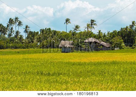 Tropical landscape with hut and palm tree. Sunny rice fields with coco palm forest Traditional rice growing in Asian country. Rural lifestyle in field. Green and yellow land. Travel in countryside