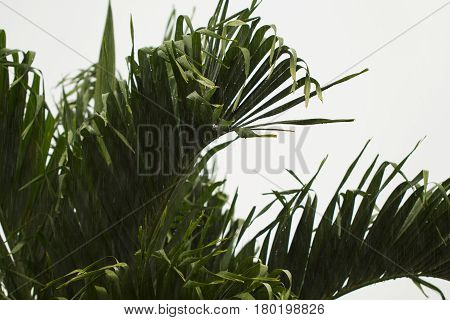 Coco palm leaves closeup on white cloudy sky background. Palm tree during rain season. Tropical winter banner template. Typhoon on exotic island. Rainy weather in coco tree garden. Green leaves image