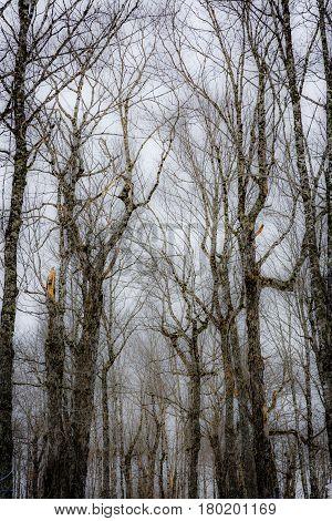 Canada, New Brunswick, Spring, taffy season in the sugar camp