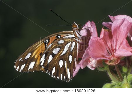 A Gulf Fritillary butterfly on a pink flower with a smooth green background