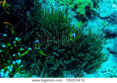Underwater Coral Garden With Anemone And A Pair Of Yellow Clownfish