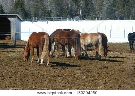 horses walking  stable eating hay snow  trees
