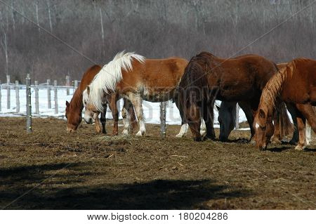 horses  brown eating walking  hay snow trees