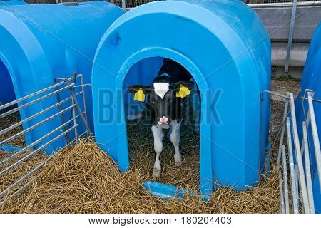 Young calf in a nursery for cows on a dairy farm.