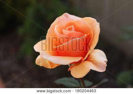 Orange spring rose on April 5th 2017 in Carmel, California garden. Copy space.