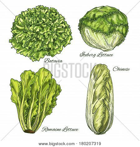 Cabbage Lettuce Vector Photo Free Trial Bigstock