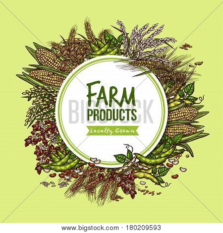 Cereal, vegetable and bean farm product poster. Wheat, rye, soybean pod, corn cob, rice, buckwheat, oat, barley and millet round badge for agriculture harvest and food packaging label design