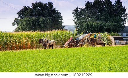 Harvesting The Amish Way
