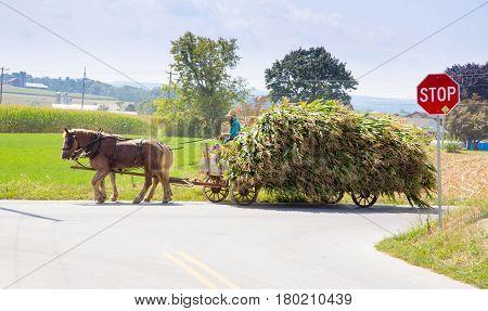 Harvesting The Amish Way