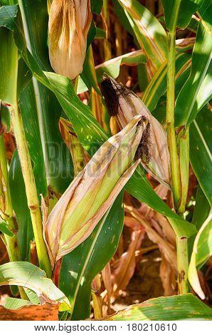 Detail of a corn crop in rural Pennsylvania.