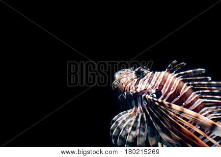 Lion fish emerging from the dark background