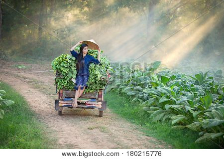 Lao woman is farming in the tobacco leaf field. Relaxing in tobacco leaf garden