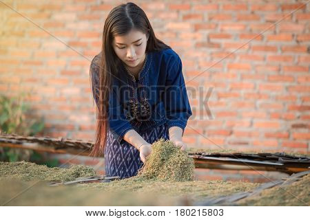 Dried tobacco leaves Lao girls are choosing the quality of the cigarette. Traditional Lao culture working in tobacco field. Beautiful Lao woman are working farm