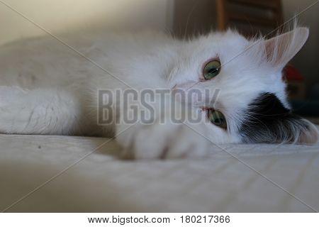 white andzqa black cat breed Turkish Van Vankedisi or Turkish Angora