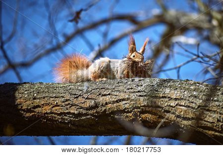 A red squirrel on a tree with material to build a nest in the spring.