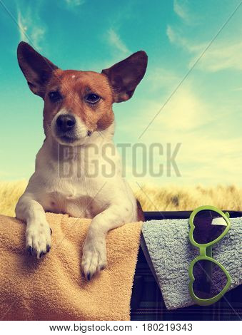 Travel concept with a Jack Russell Terrier in a vintage luggage and retro towels on a dune background