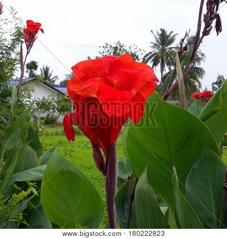 two red Canna Lilies with house in background, palm trees, lush green field