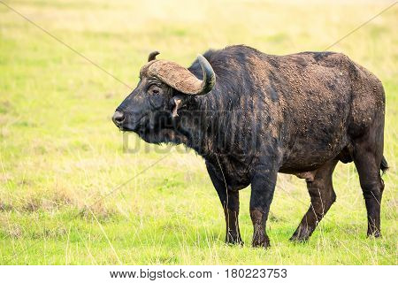 Back view of African buffalo or Syncerus caffer standing in savanna