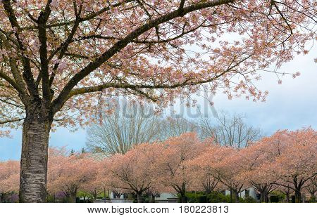 Cherry Blossom Trees in full bloom at garden parks in Oregon State Capitol in Salem Oregon during Spring season