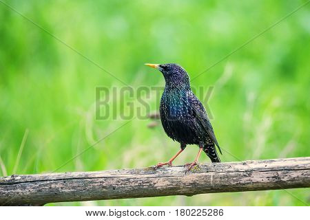 Common starling or Sturnus vulgaris sits on the ground