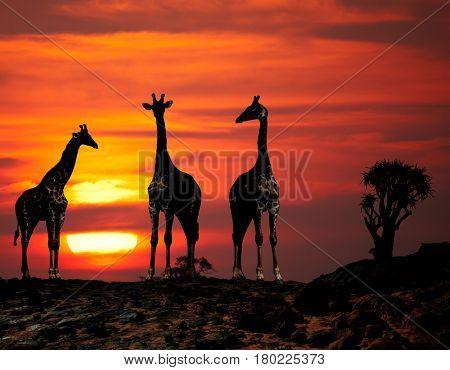 Giraffes in african savanna at sunset