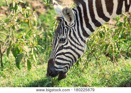 Closeup of zebra in savanna with green grass background