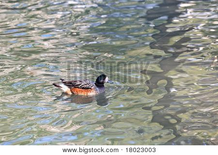 Carolina Or Wood Duck